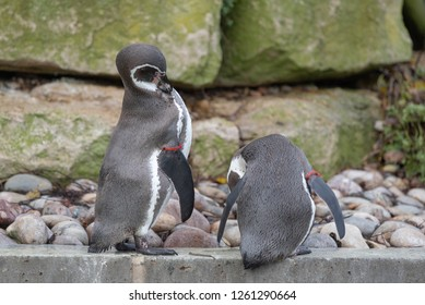 Humboldt Penguins swim and rest