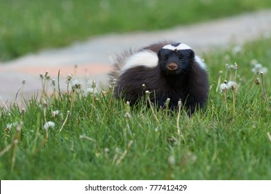 Humboldt's hog-nosed skunk (Conepatus humboldti) searching for food in Valle Chacabuco, Patagonia, Chile