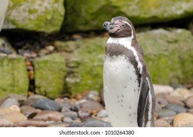 A Humbolt Penguin on the rocks