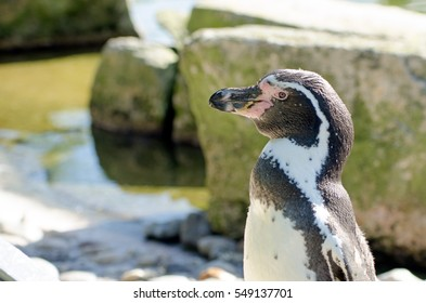 A Humbolt penguin stands by rocks and some water