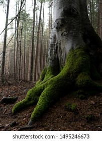 Humid, moss-covered beech tree roots in soft light
