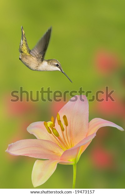Hummer hovering above flower, lat. name - Archilochus colubris