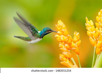 Humminbird from Colombia  in the bloom flower, Colombia, wildlife from tropic jungle. Wildlife scene from nature. Hummingbird with pink flower, in flight.