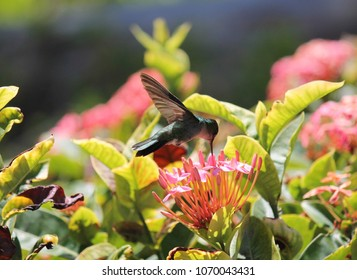 humming bird emerald in Caribbean feeding on nectar from flower