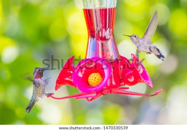Humming bird feeding macro shot