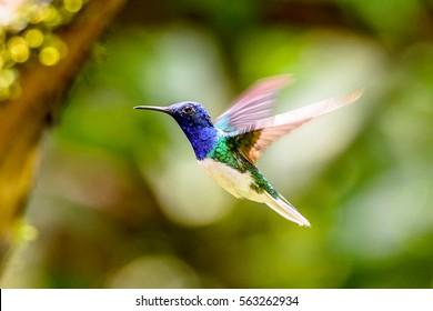 Humming bird flies