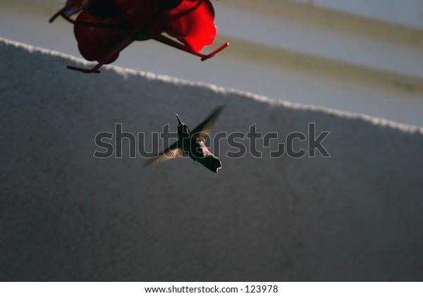 a humming bird hovers at a feeder