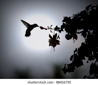 Humming bird in silhouette / Another Day of Sweet Life / Ruby throat-ed hummingbird takes her morning sip