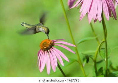 A humming bird in some pink flowers eating
