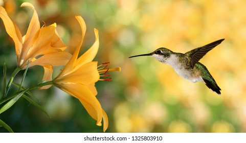 Hummingbird (archilochus colubris) in flight with tropical lily flowers over green background