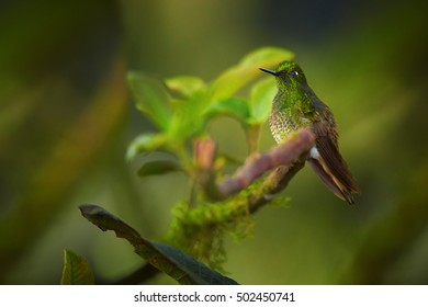 Hummingbird, Buff-tailed Coronet,Boissonneaua flavescens, green hummingbird, perched on mossy twig in rainforest of Rio Blanco Nature Reserve. Colombia.