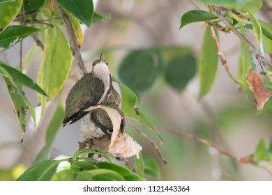 Hummingbird chicks perched on their nest