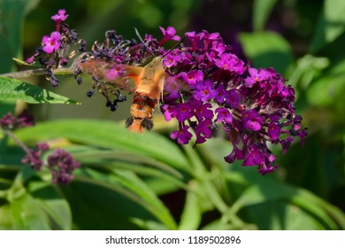 Hummingbird Clearwing Moth hovering by a purple Butterfly Bush flower collecting nectar. Rosetta McClain Gardens, Toronto, Ontario, Canada.