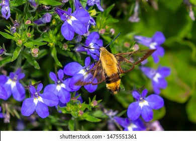 The hummingbird clearwing,Hemaris thysbe commonly known as hawk moth