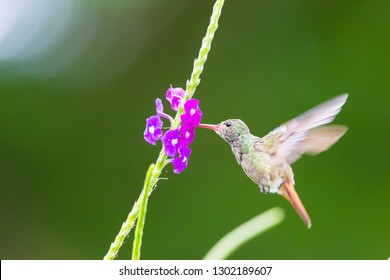 Hummingbird, or Colibri thalassinus, beautiful green hummingbird with red tail from Central America hovering in front of flower background in cloud rainforests, Costa Rica.