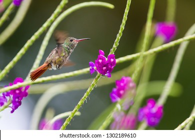 Hummingbird, or Colibri thalassinus, beautiful green hummingbird from Central America hovering in front of flower background in cloud rainforests, Costa Rica.