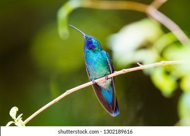 Hummingbird, or Colibri thalassinus, beautiful green blue hummingbird from Central America hovering in front of flower background in cloud rainforests, Costa Rica.
