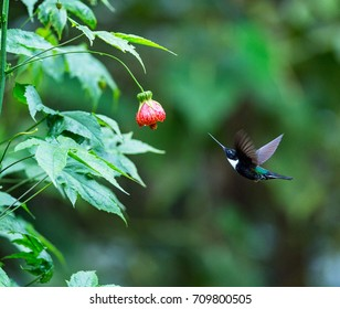 Hummingbird, Collared inca feeds nectar from abutilon flower, Ecuador