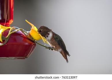 Hummingbird drinks food