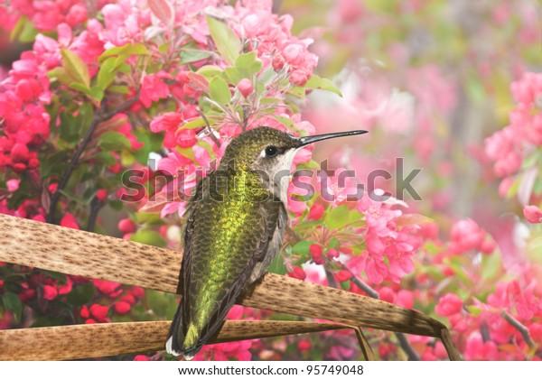 hummingbird-enjoying-apple-blossom-latin
