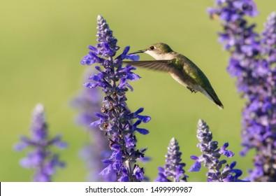 Hummingbird feeding in flight, surrounded by purple Salvia flowers