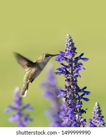 Hummingbird feeding nectar from a purple Salvia flower, with green background; with copy space on top