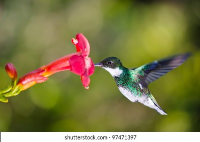 hummingbird feeding at red flower