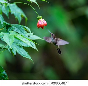 Hummingbird  feeds from abutilon flower, Ecuador