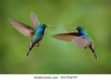 Hummingbird fight Green-backed Hillstar, Urochroa bougueri leucura, green blue hummingbird from San Isidro in Ecuador. Two birds fly fight in the tropic forest. Hummingbirds flight in nature habitat.  - Shutterstock ID 1917516737