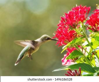 Hummingbird in flight getting nectar from bright red Pentas