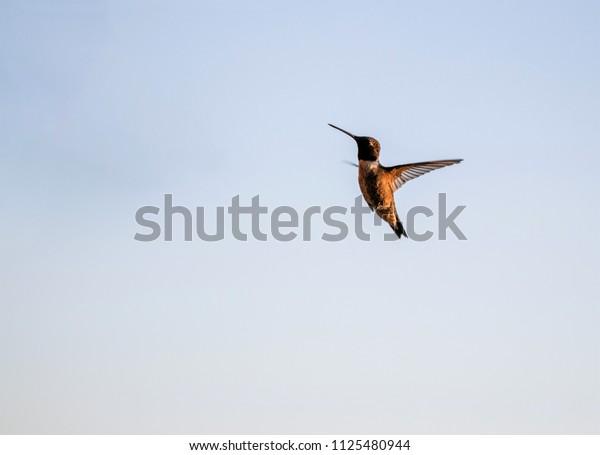 Hummingbird in flight-golden light in late afternoon