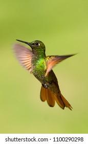 Hummingbird fling. Brazilian Ruby. Wildlife scene from nature. Birdwatching in Brazil.