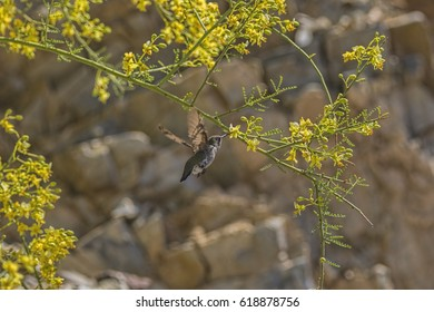 Hummingbird getting nectar from a flower in Phoenix Mountain Preserve