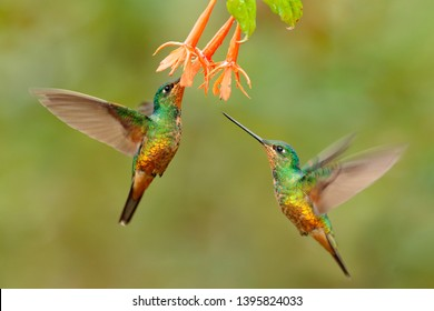 Hummingbird Golden-bellied Starfrontlet, Coeligena bonapartei, with long golden tail, beautiful action flight scene with open wings, clear green backgroud, Chicaque Natural Park, Colombia. Two birds.