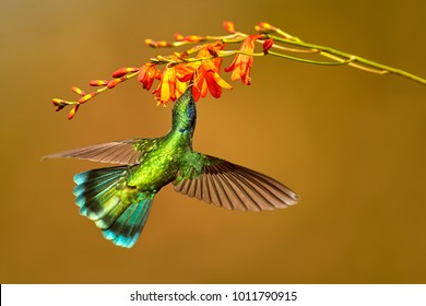 Hummingbird Green Violet-ear, Colibri thalassinus, drinks nectar from to crocosmia, bird from mountain tropical forest, Costa Rica