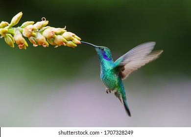 Hummingbird - Green violet-ear Colibri thalassinus) flying to pick up nectar from a beautiful flower of a bromelia, San Gerardo del Dota, Savegre, Costa Rica. Action wildlife scene from nature.