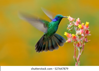 Hummingbird Green Violet-ear, Colibri thalassinus, fling next to beautiful ping orange yellow flower in natural habitat, bird from mountain tropical forest, Savegre, Costa Rica.