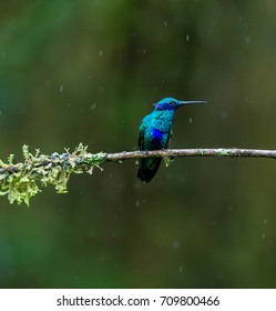 Hummingbird, Green violet-ear under rain, Ecuador