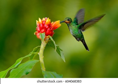 Hummingbird Green-crowned Brilliant, Heliodoxa jacula, green bird from Costa Rica flying next to beautiful red flower with clear background, habitat, action feeding scene. Wildlife scene from nature.