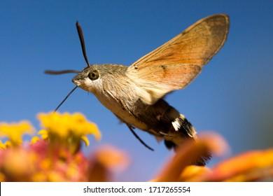 Hummingbird hawk moth flies over flowers