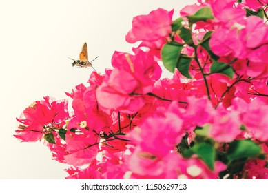 Hummingbird hawk moth flying hovering in spain above pink bougainvillea flowers. The curled tounge like proboscis can be seen.