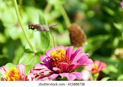 Hummingbird Hawk Moth hover and drink nectar