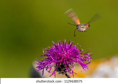 Hummingbird hawk moth taking nectar in flight from flowers, Pembrokshire, UK