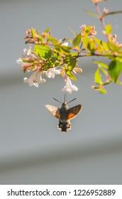 Hummingbird Hawk-Moth collecting pollen in little flowers