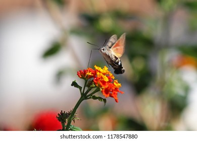 A Hummingbird Hawk-Moth feeding on a Lantana using its proboscis to reach the nectar whilst hovering over the flower. This creature is a rather beautiful insect.