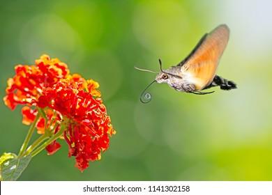 Hummingbird hawk-moth flying to a orange lantana flower