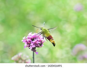 Hummingbird hawk-moth hovering over verbena flower (Macroglossum stellatarum) in nuture