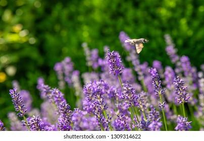Hummingbird Hawk-moth on grass and herbs