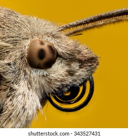 Hummingbird hawk-moth portrait, extreme magnification