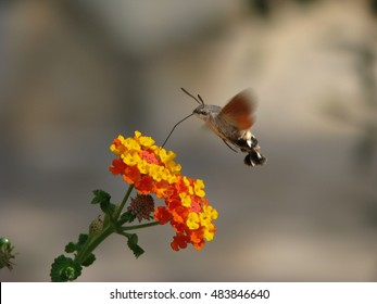 Hummingbird hawk-moth sucking nectar from a flower